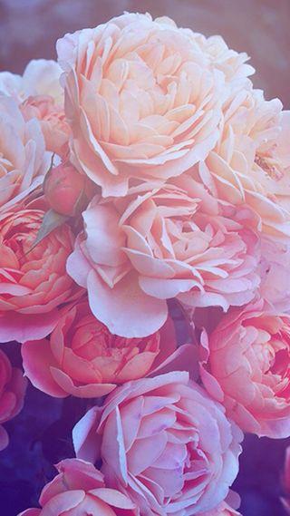 Обои на телефон цветы, розы, розовые, природа