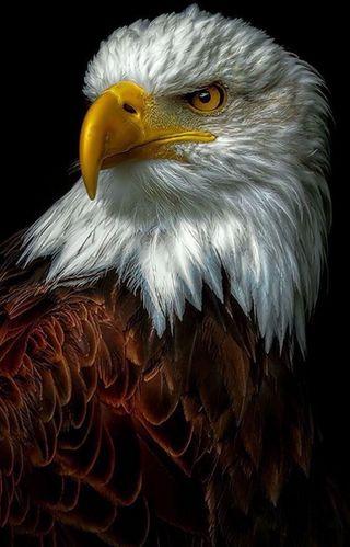Обои на телефон орел, черные, птицы, prey