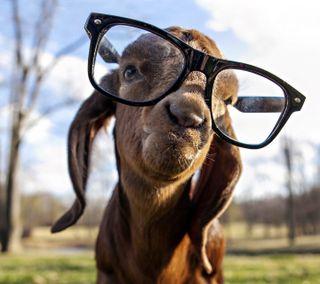 Обои на телефон очки, козел, гангста