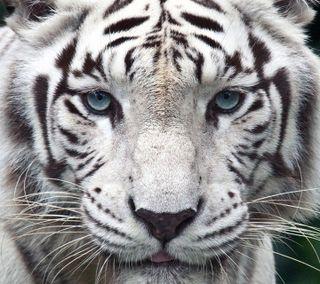 Обои на телефон тигры, джунгли, тигр, приятные, крутые, животные, белые