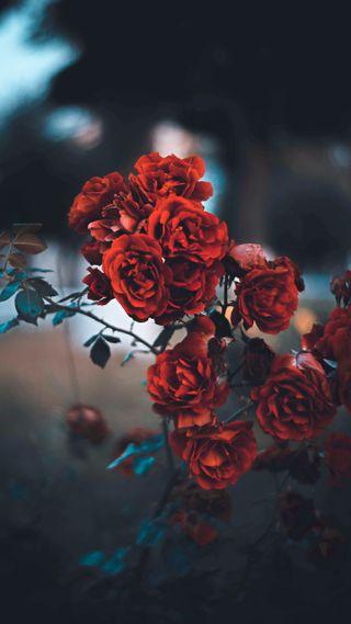 Обои на телефон размытые, цветы, синие, розы, красые