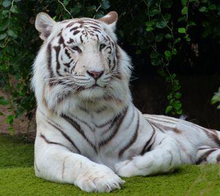 Обои на телефон хищник, тигр, дикая природа, белые, posing