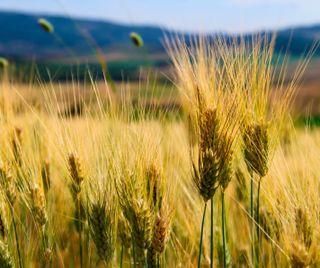Обои на телефон природа, land, ears of corn, corn