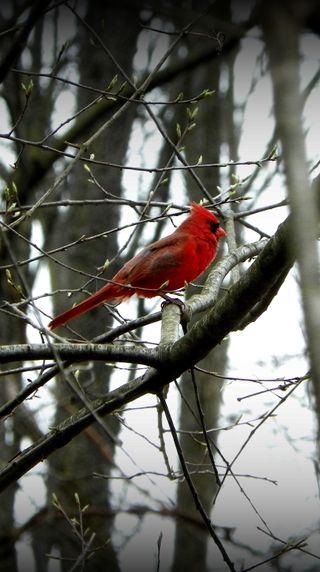 Обои на телефон фото, птицы, красые, зима, дерево, ветви, cardinal