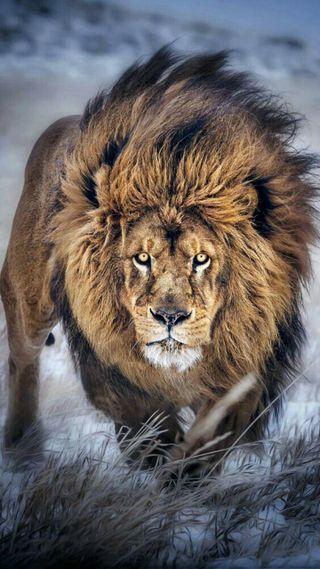 Обои на телефон лев, снег, питомцы, король, животные, другие