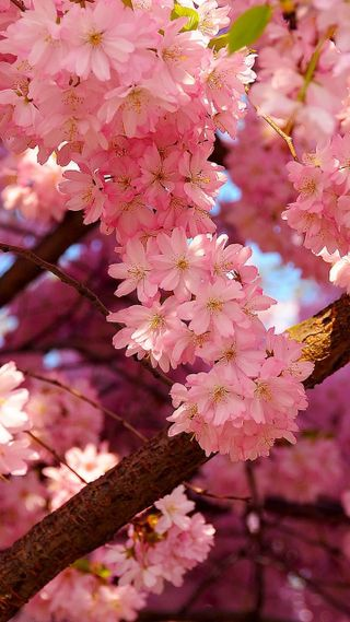 Обои на телефон cherry blossom, природа, розовые, цвести, вишня