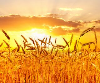 Обои на телефон пшеница, природа, поле, пейзаж, закат, восход