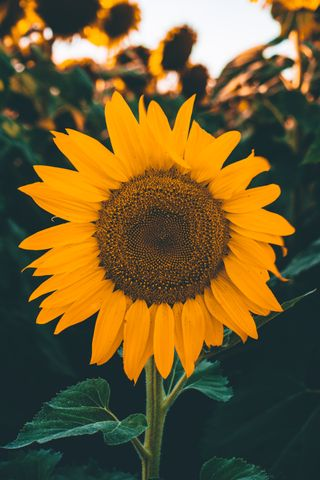 Обои на телефон xerishyag, природа, цветы, айфон, лето, последние, подсолнухи, чилл