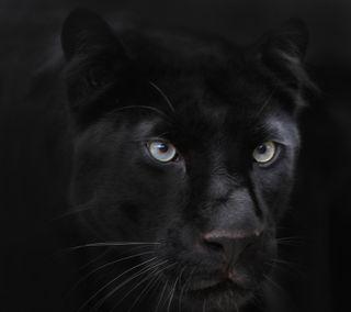 Обои на телефон черные, пантера, коты, животные