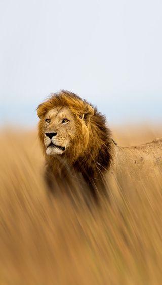 Обои на телефон опасный, джунгли, лев, король, животные, африка, savannah, hd