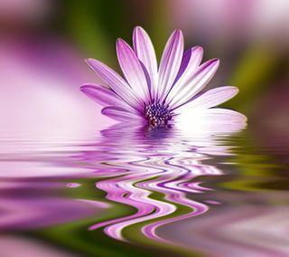 Обои на телефон отражение, цветы, фиолетовые, спокойствие, симпатичные, плавающий, вода, весна, ripples, floating flower