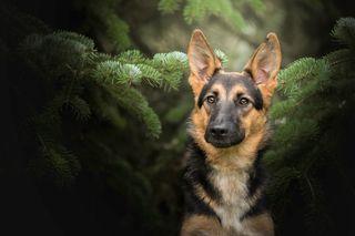 Обои на телефон немецкие, собаки, приятные, german shepherd