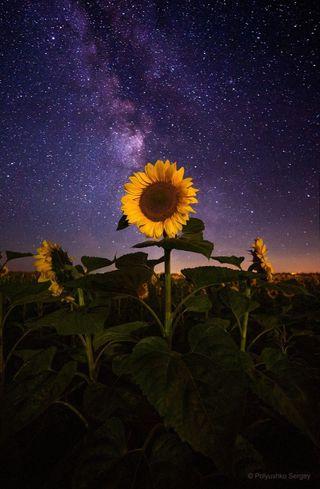 Обои на телефон подсолнухи, космос, sunflower in space