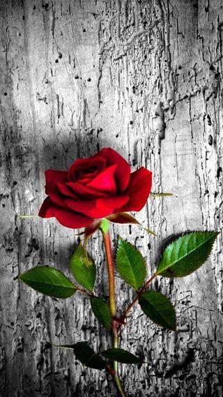 Обои на телефон дерево, цветы, розы, красые