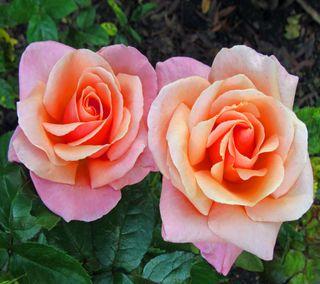 Обои на телефон лепестки, розы, розовые, растения, природа, листья, лето, зеленые, весна