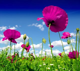 Обои на телефон поле, цветы, мак