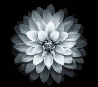 Обои на телефон лотус, белые, white lotus, ghd, dfgh