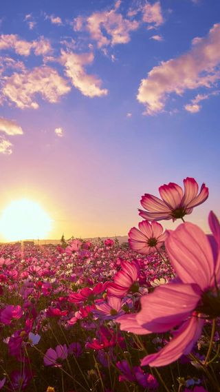 Обои на телефон цветы, поле, пейзаж, закат