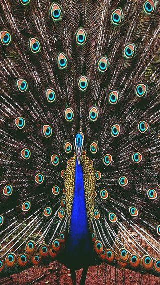 Обои на телефон павлин, птицы, природа, перья, новый, крутые, животные, естественные, дикие, hd