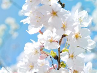 Обои на телефон расцветает, вишня, белые