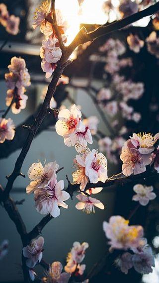 Обои на телефон цветы, сакура, бумажный, papel de parede, natureza, flores sakura