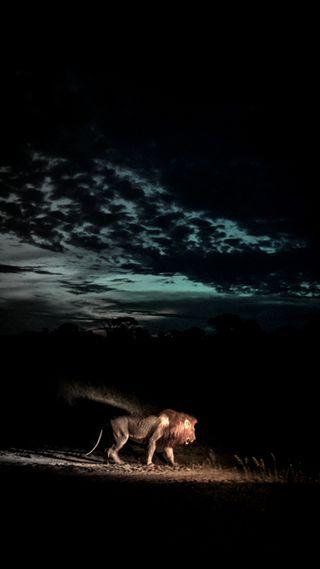 Обои на телефон тьма, лев, дикие, lion darkness