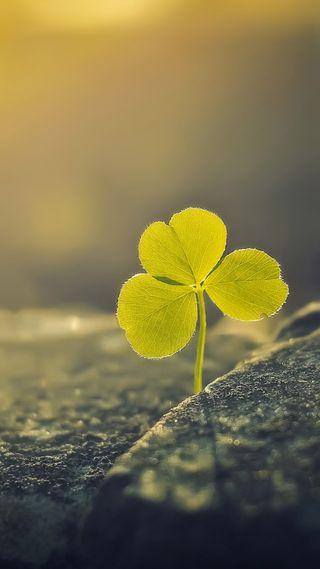 Обои на телефон 1080p, three leaf clover, природа, листья, боке, макро, клевер, три