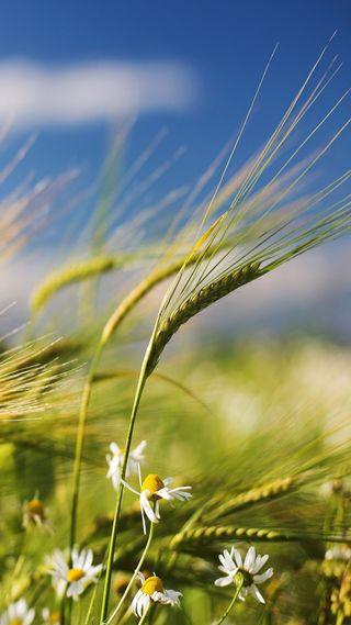 Обои на телефон пшеница, зеленые