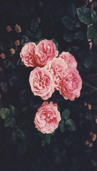 Обои на телефон розы, gfd