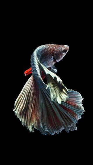Обои на телефон чемпион, рыба, champion fish 6s-7, 6s