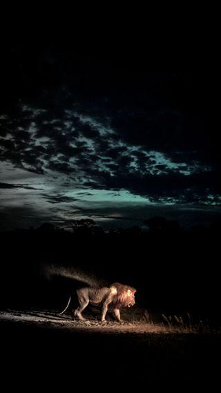 Обои на телефон тьма, дикие, лев, lion darkness