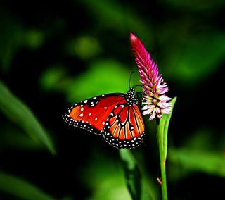 Обои на телефон насекомое, крылья, бабочки