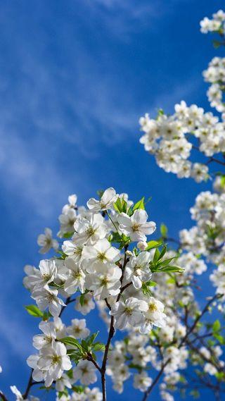 Обои на телефон цветение, цвести, макро, природа, небо, вишня, весна, белые, 1080p