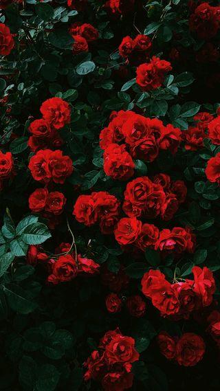 Обои на телефон фото, розы