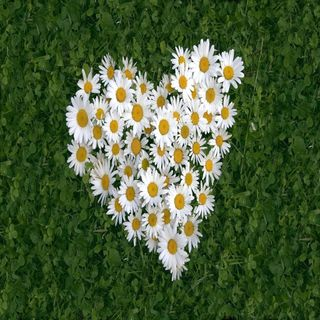 Обои на телефон маргаритка, приятные, прекрасные, милые, взгляд, белые, white daisy of luv