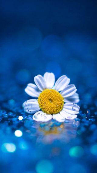 Обои на телефон маргаритка, цветы, синие