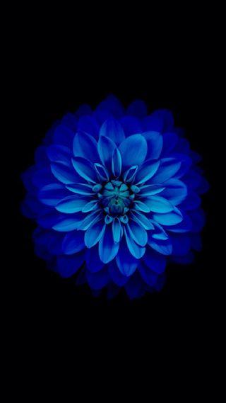 Обои на телефон лотус, черные, цветы, цветение, темные, синие, абстрактные, zinnia, dark blu