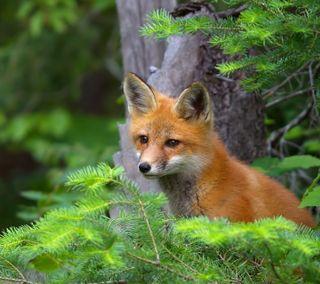 Обои на телефон лиса, природа, животные