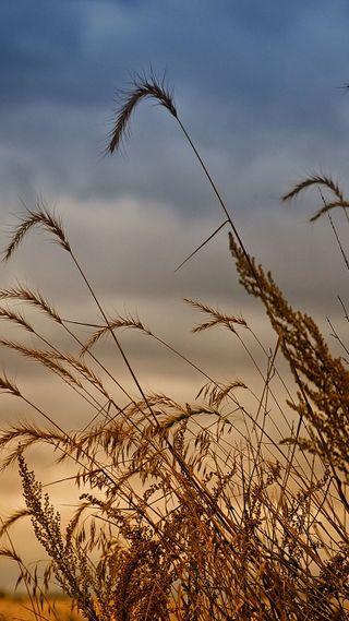 Обои на телефон пшеница, коричневые