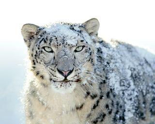 Обои на телефон леопард, снег