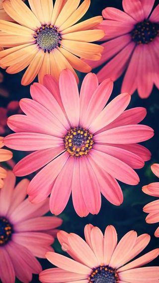 Обои на телефон природа, розовые, цветы, маргаритка
