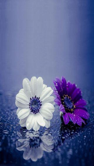 Обои на телефон капли, цветы, синие, приятные, природа, прекрасные, вода, белые