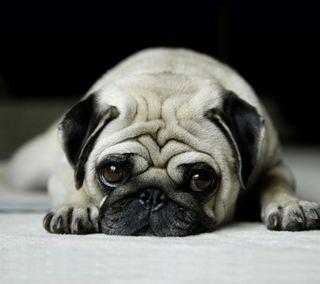 Обои на телефон beige, puggy, sreefu, stubby, cute sad pug, крутые, милые, грустные, щенки, восхитительные, пушистые, мопс, крошечный
