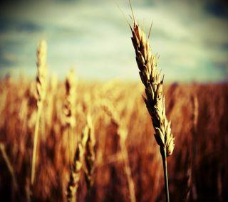 Обои на телефон солнечный свет, пшеница, поле, зерно, grain of wheat
