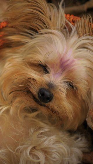 Обои на телефон сон, щенки, собаки, осень, милые, корзина, yorkie, basket naps