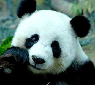 Обои на телефон панда, аниме
