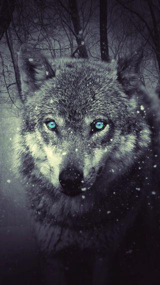 Обои на телефон дикие, темные, волк