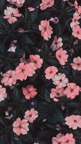Обои на телефон цветы, симпатичные, розовые