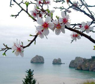 Обои на телефон природа, цветы, весна, цвести, вишня