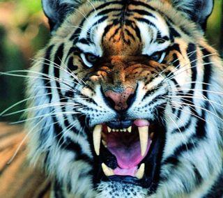 Обои на телефон зверь, дикие, тигр, животные, growl